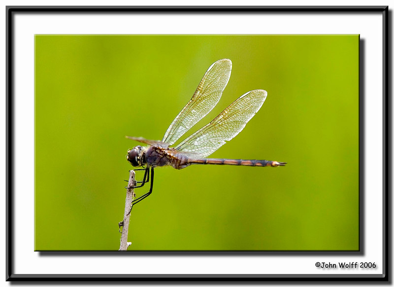 four-spotted Pennant female