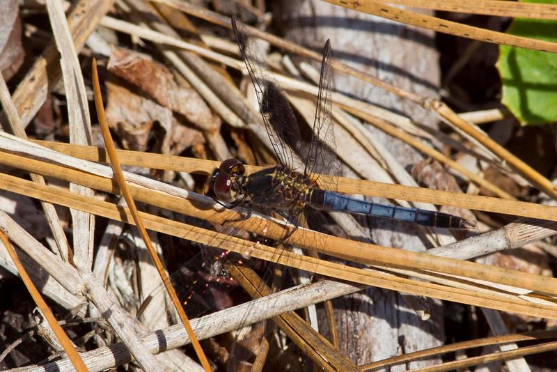 Little blue dragonlet - Patsy's Pond, NC