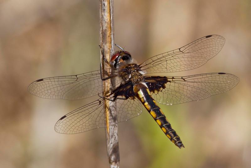 Marl pennant female - Patsy's Pond, NC