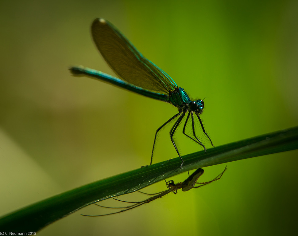 Banded Demoiselle and spider