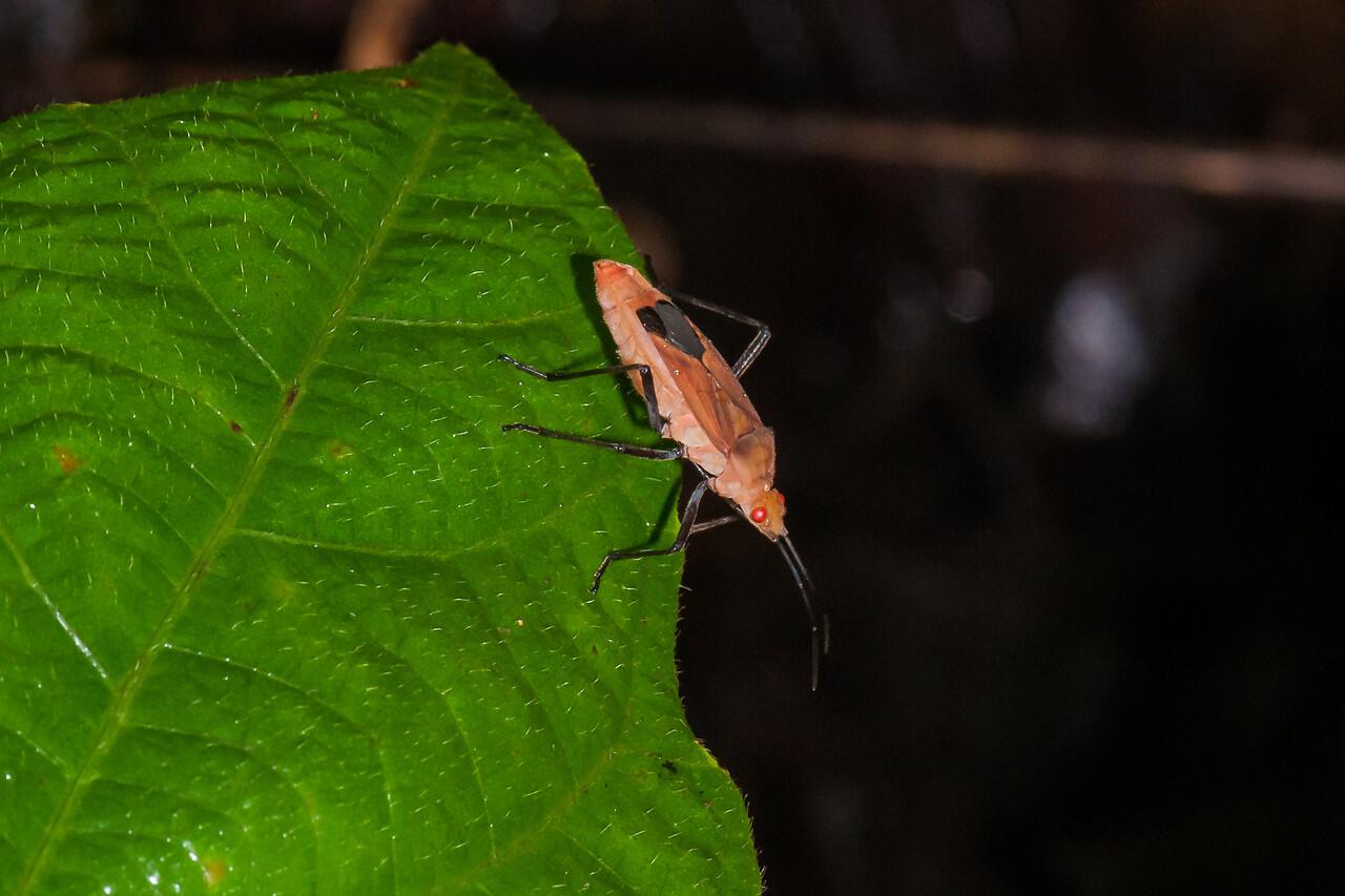 Seed Bug (O:Hemiptera)?