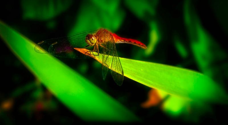 Dragonflies-065.jpg