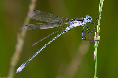 Common Spreadwing (Lestes sponsa)