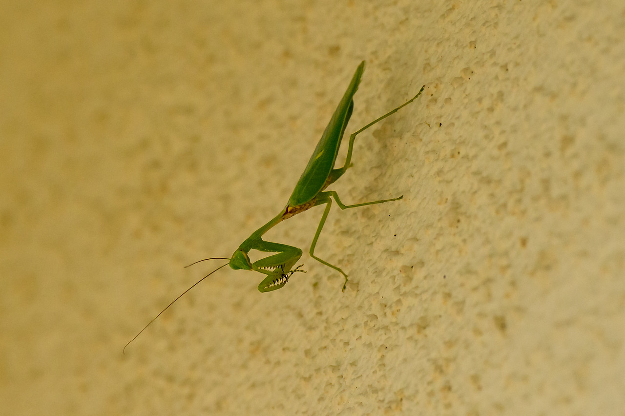 Praying Mantiss (O:Neoptera, SO: Dictyoptera)