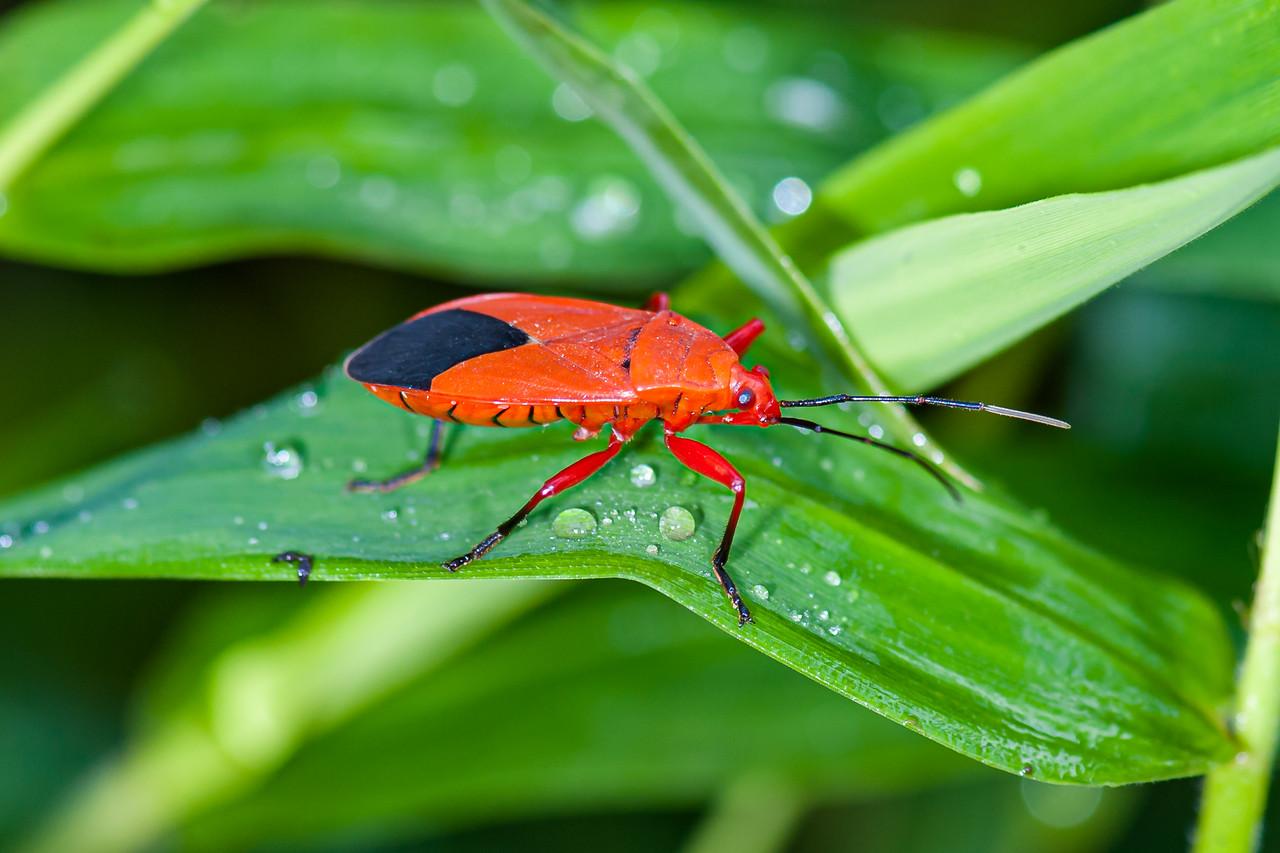 Assasin Bug (O:Hemiptera) Sycanus versicolor