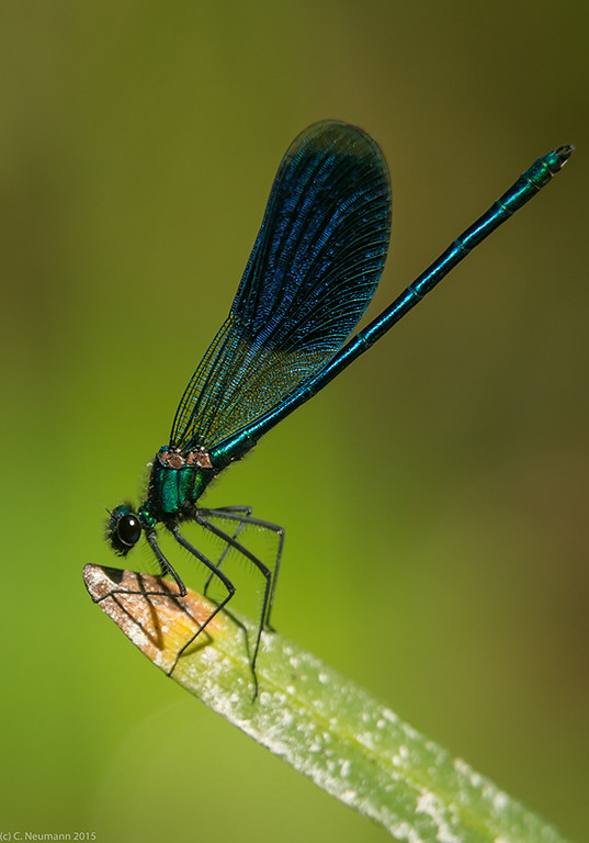 Banded Demoiselle, male