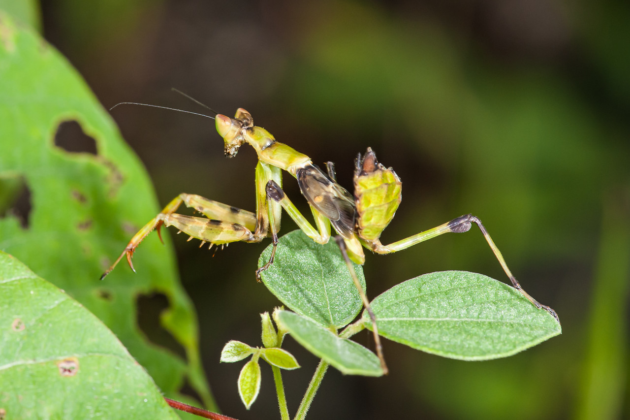 Praying Mantiss (O:Mantodea; F:Mantidae)