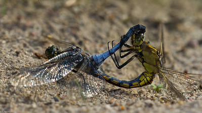 Black-tailed Skimmer, mating wheel (Orthetrum cancellatum)