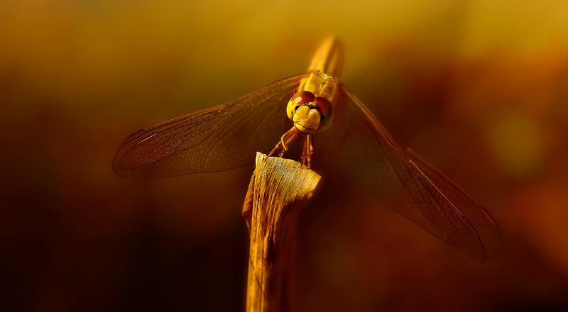 Dragonflies-060.jpg