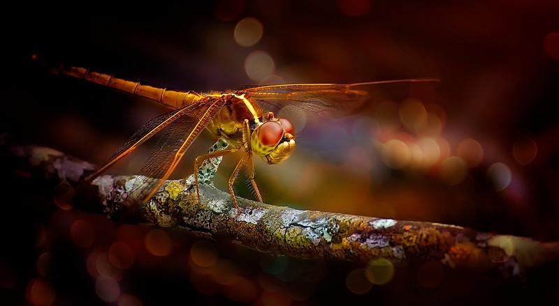 Dragonflies-070.jpg
