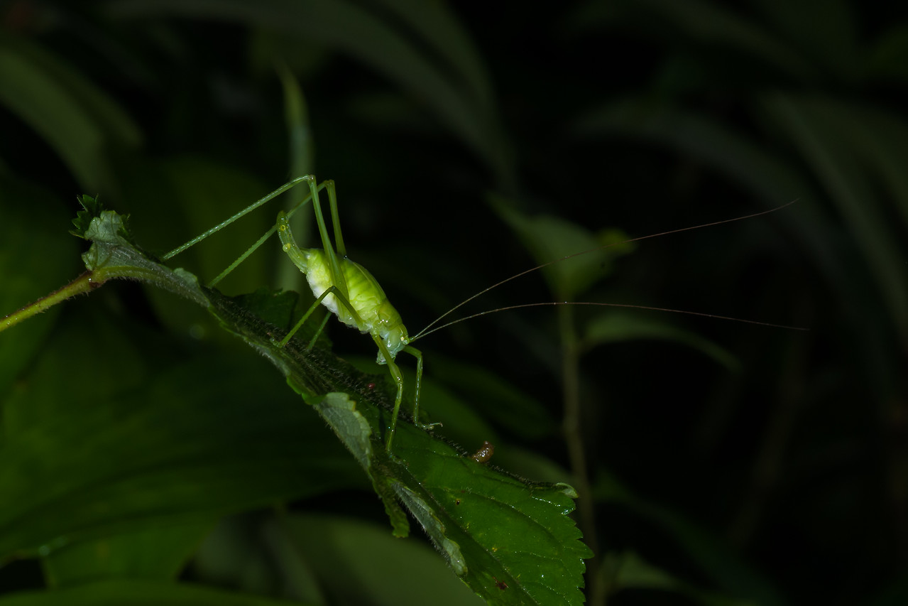 Tree Cricket - Phaneroptera sp. (O:Orthoptera; F:Gryllidae)