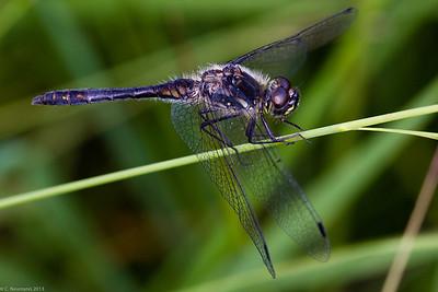 Black Darter (Sympetrum danae)