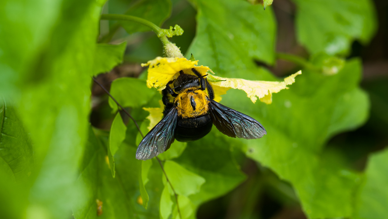 Carpenter Bumble bee