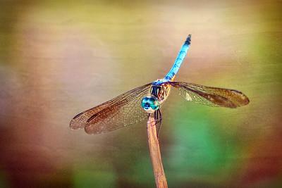 (DF11) Blue Dasher Dragonfly