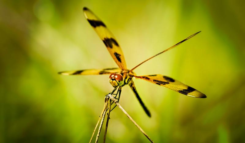 Dragonflies-058.jpg
