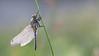 Black-tailed skimmer ♀︎ / Orthetrum cancellatum ♀︎ / Gewone oeverlibel ♀︎