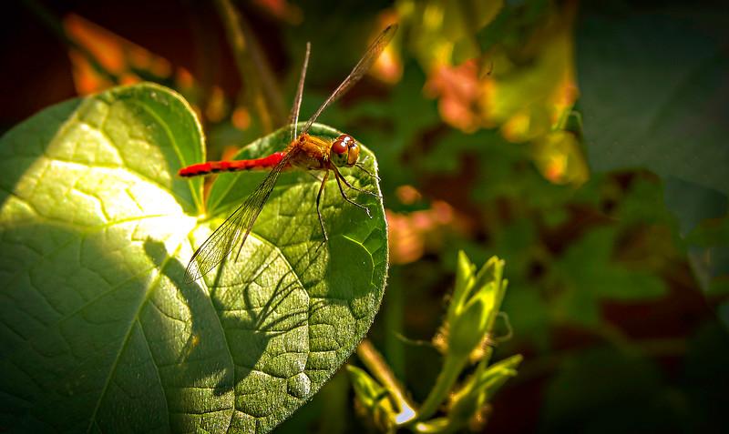Dragonflies-068.jpg