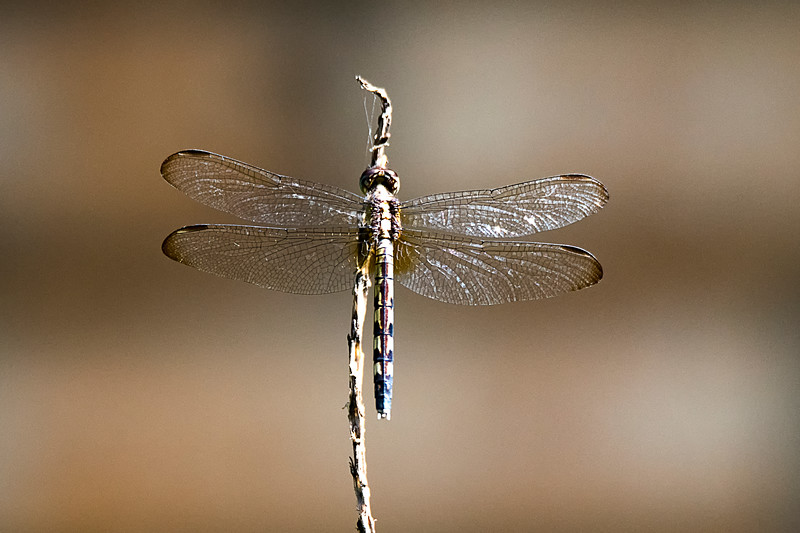 Brown Dragonfly.jpg