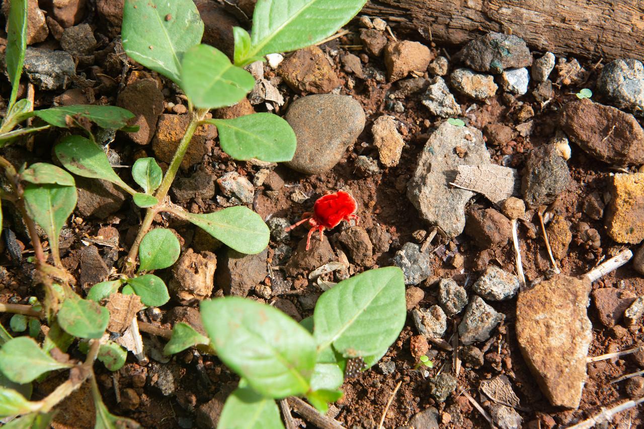 Giant Indian Velvet Mite (O:Acari; F:Trombidiformes)