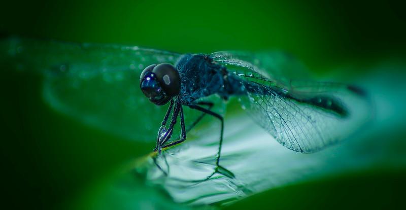 Dragonflies-063.jpg