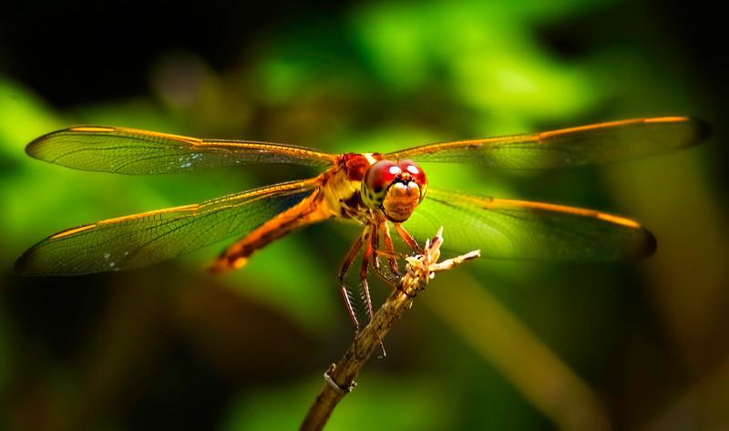 Dragonflies-057.jpg