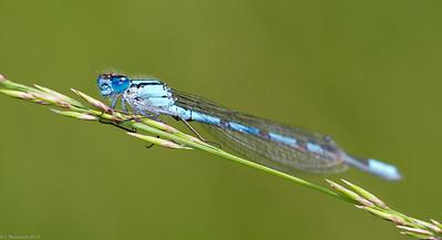 Azure Bluet (Coenagrion puella)