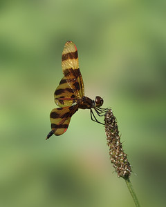 Halloween Pennant, male