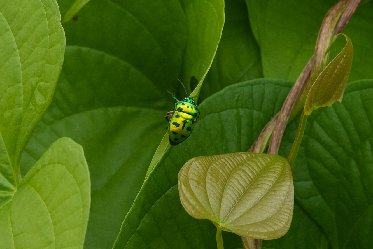 Jewel Bug (Chrysocoris stolli) (O:Hemiptera)