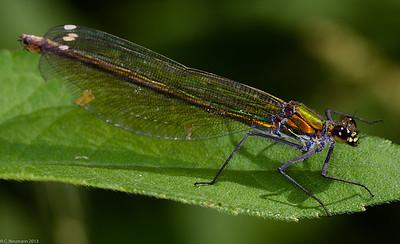 Banded Demoiselle, female (Calopteryx splendens)