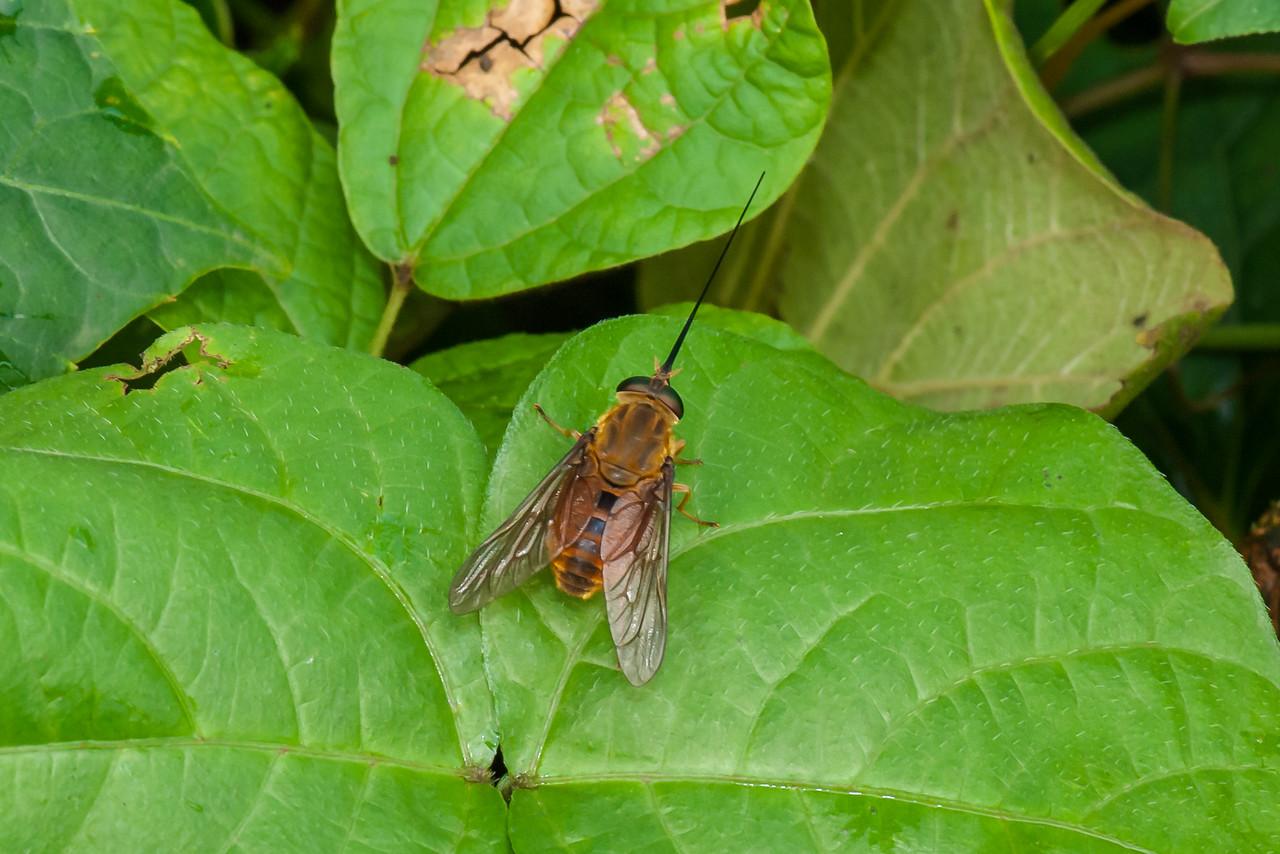 Bee Fly (O: Diptera; F: Bombyliidae)