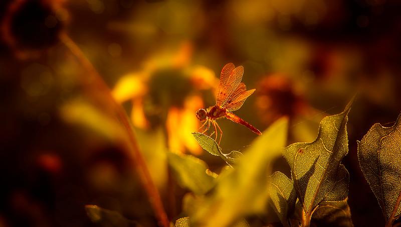 Dragonflies-069.jpg