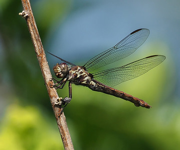 Roseate Skimmer, female