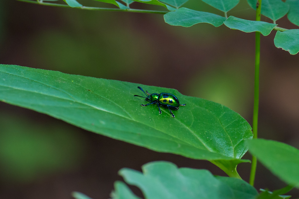 Beautiful Beetle