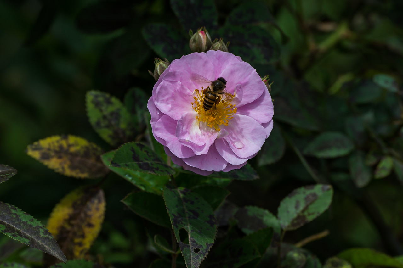 Oriental Honey Bee