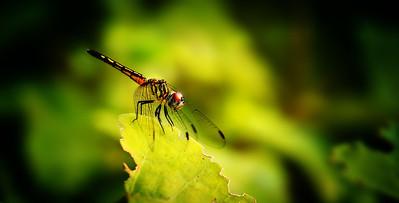 Dragonflies by Ray Bilcliff - www.trueportraits.com