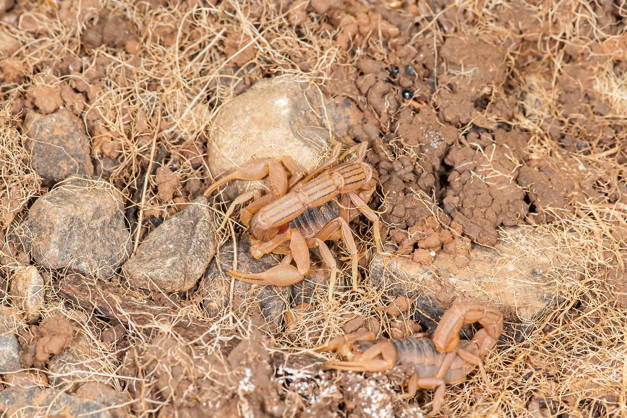 Scorpion - Buthus tamulus (O:Scorpiones; F: Buthidae)