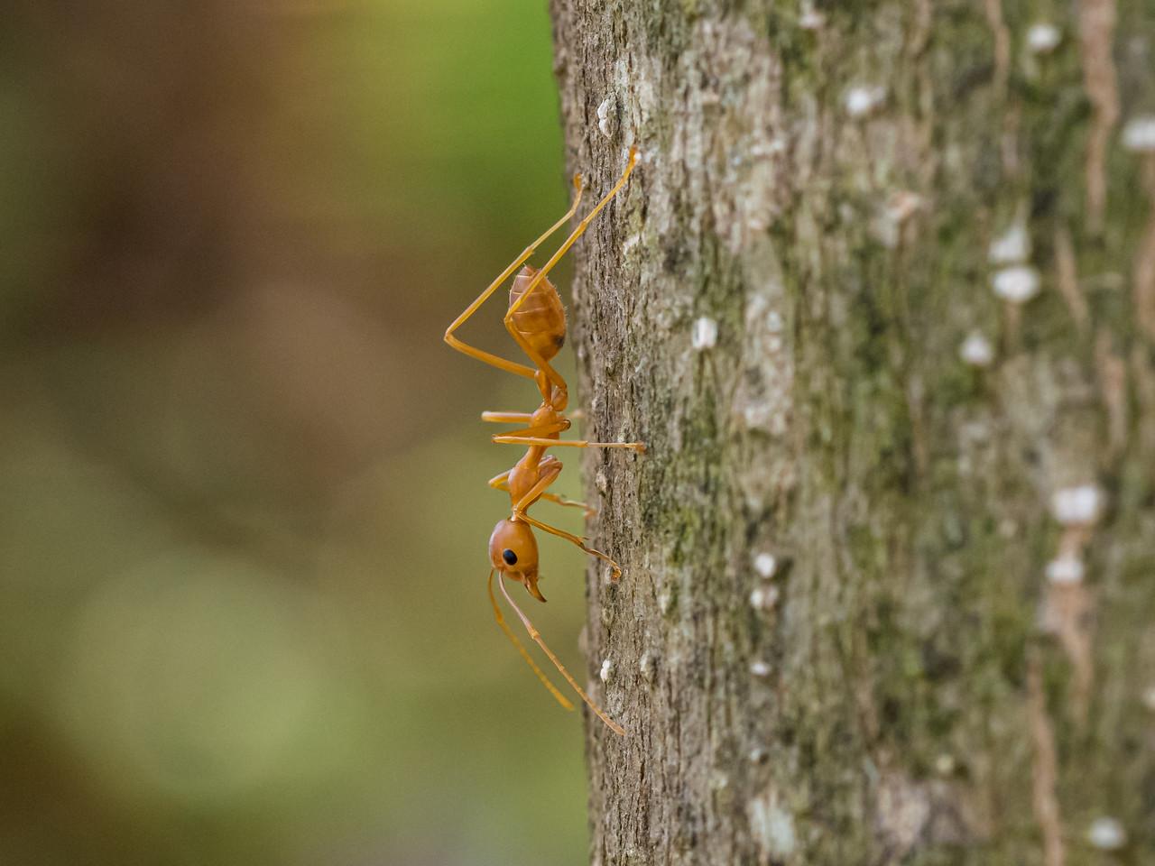 Leaf Ant