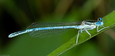 Blue Featherleg, male (Platycnemis pennipes)