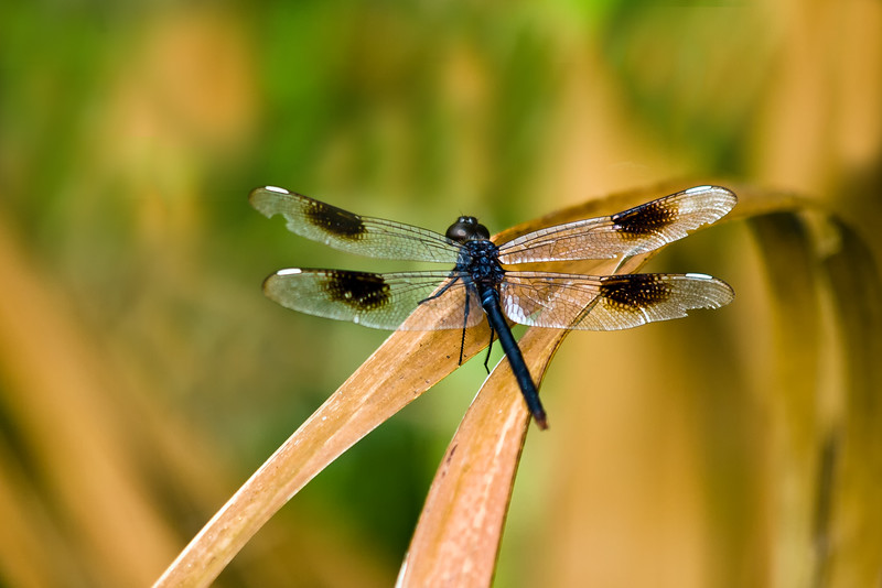 dragon fly in central florida.jpg