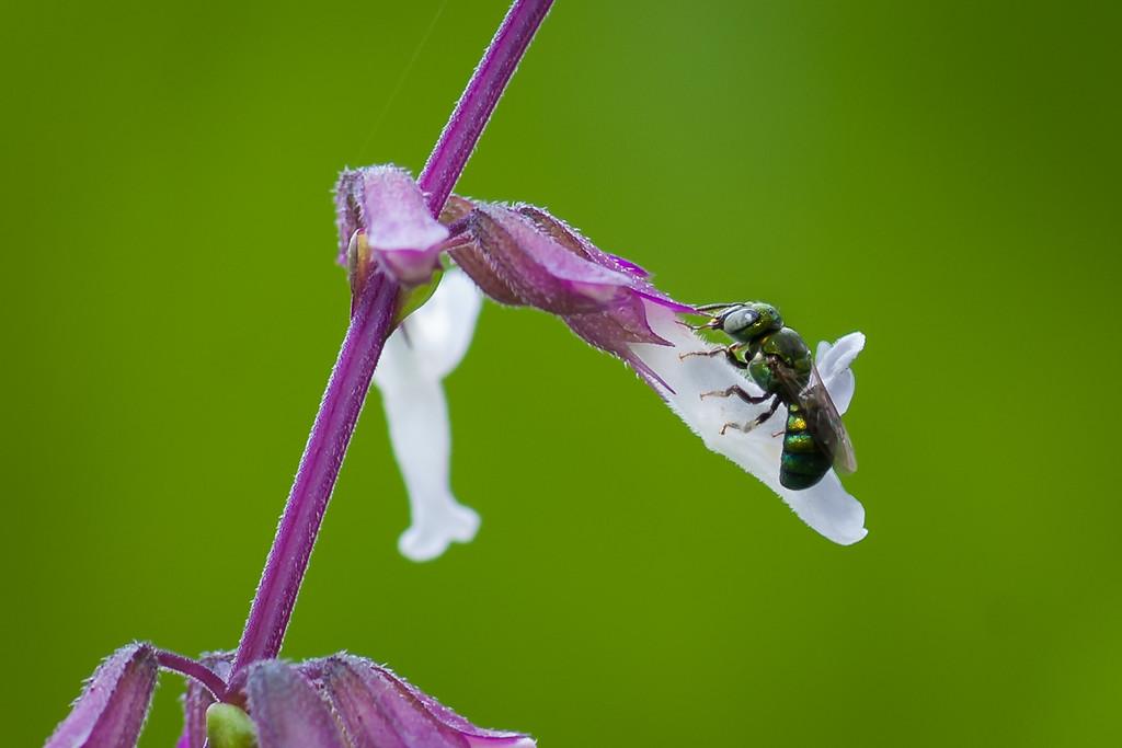 Jyoti -Orthosiphon pallidus (Lamiaceae)