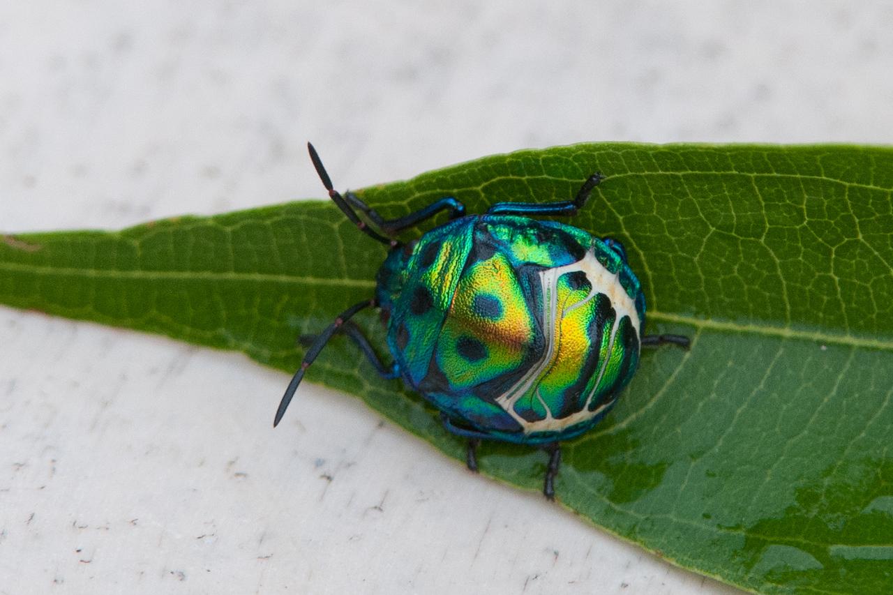 Jewel Bug (O:Hemiptera; F:Scutelleridae)