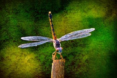 (DF12) Dragonfly
