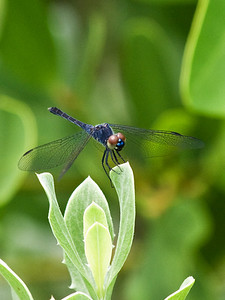 (DF1) Blue Dasher Dragonfly