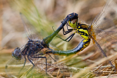 Black Darter, mating wheel (Sympetrum danae)