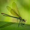 Banded Demoiselle (female) with prey