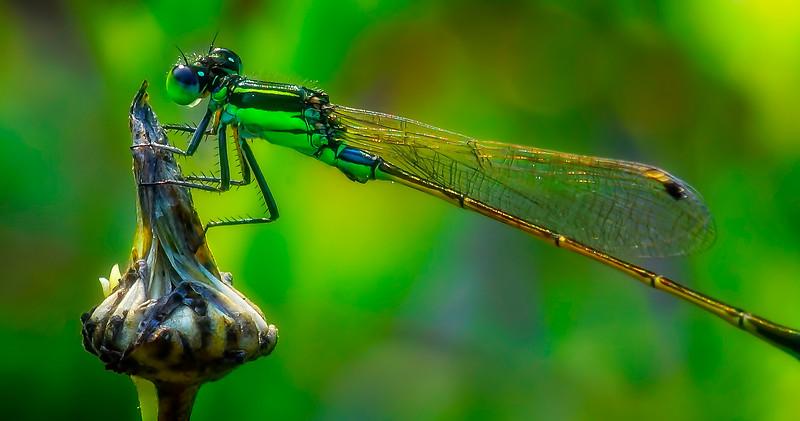 Dragonflies-064.jpg