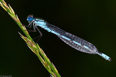 Common Bluet (Enallagma cyathigerum)