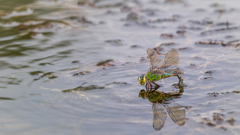 Emperor dragonfly (♀ laying eggs) / Anax imperator / Grote keizerlibel (eileggend ♀)