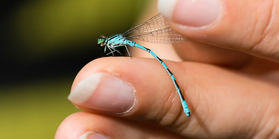 Coenagrion hastulatum - Spearhead Bluet