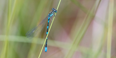 Coenagrion johanssoni - Arctic Damselfly - one of the top species on the wish-list.